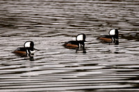 _JGP2093 Male Hooded Mergansers